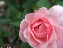 Pink - Trimite felicitare
