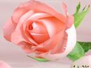 Trandafir roz - Trimite felicitare