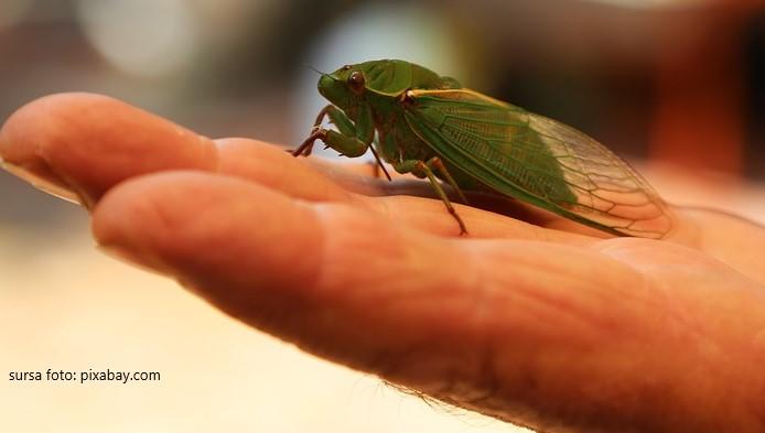 Cicada, o insecta galagioasa