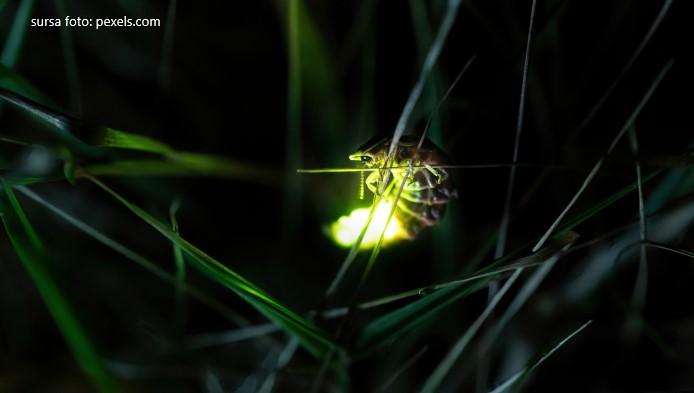 Licuriciul
